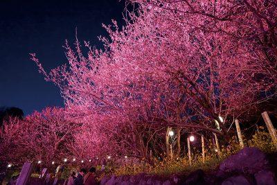 絶景 雪割桜