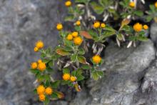 シオギク キク科の一種で室戸岬先端部はシオギクの群生地として貴重な地域。  ハマナデシコ 浜辺の日当りのいい崖地に花を咲かせる。 ゴツゴツとした室戸の海岸を歩くと、思いのほかたくさんの植物と出あえる。